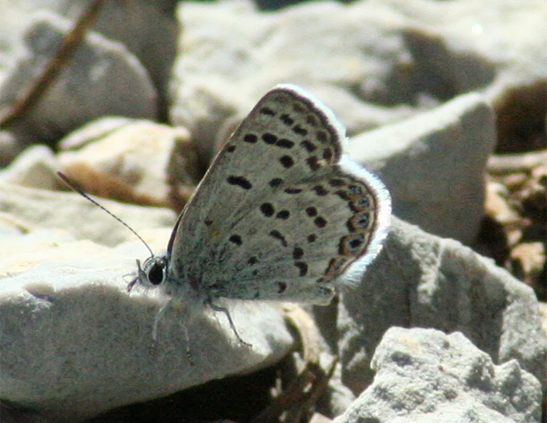 Lee Canyon Mount Charleston blue butterfly